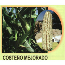 Maiz Costeño Mejorado 20kg Semilla Para Grano De Temporal
