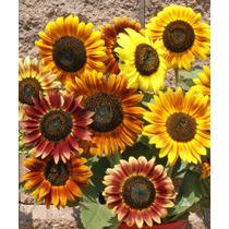 20 Semillas De Girasol Belleza De Otoño Colores Bouquet