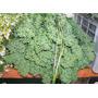 1 Lb Semillas Amaranthus Hypochondriacus - Amaranto C. 182-a