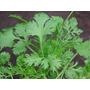 1 Lb Semillas Coriandum Sativum (cilantro Organico) 210-b