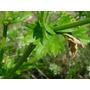 1 Lb De Semillas Apium Graveolens - Apio Tall Utah 404-a