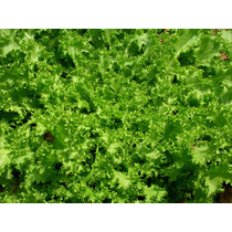 10 Gramos Semillas De Cichorum Endivia - Escarola $39 C. 221