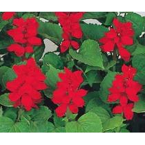 100 Semillas De Salvia Officinalis - Salvia Codigo 514