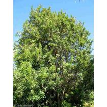 3 Semillas De Nuez Macadamia Integrifolia (nuez De Macadamia