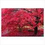 Acer Palmatum Inazuma, 10 Semillas