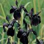 Semillas De Iris Chrysographes - Lirio Black Gold Cod. 582