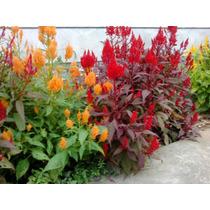 50 Semillas Pampas Plume Mix Anual Celosia Ornamental Jardin