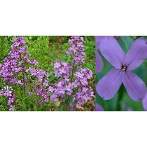 50 Semillas Violeta De Primavera Juliana Ornato Y Tisana