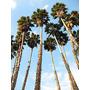 25 Semillas De Palma Washingtonia