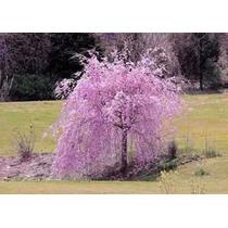 Cerezo Lloron (no Sauce Lloron) Prunus Subhirtella Semilla