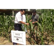 1000 Semillas De Maiz Morado De Veracruz - Criollo Cultivo