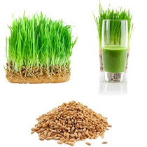 Semillas De Trigo Organicas Wheatgrass Para Germinado