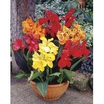 Canna Enana Mix 5 Semillas Flores Jardín Planta Sdqro