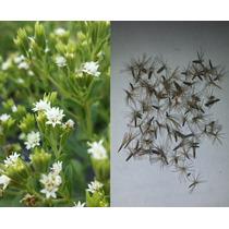 200 Semillas Stevia Rebaudiana Organicas Importadas