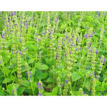 3 Mil Semillas De Chia Para Siembra - Cultivo Chia Organico