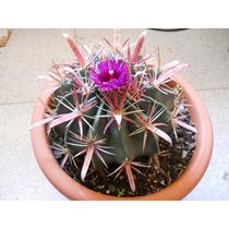 Semillas De Cactus Biznaga (ferocactus Latispinus)