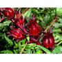 500 Semillas De Jamaica Hibiscus Sabdariffa