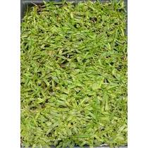 Semillas De Pasto De Pennisetum Clandestinum - Kikuyu C. 87