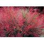 15 Semillas De Eragrostis Spectabilis - Pasto Purpura C. 69
