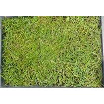 Semillas Para Pasto Lolium Perene - Rye Grass $90 Codigo 86
