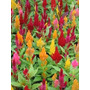 50 Semillas Pampas Plume Mix Pasto Ornamental Jardin Vbf