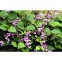 Planta Pionera Regeneradora De Suelos Abono Verde Forraje