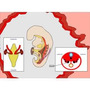 Libro Embriología Médica, Jan Langman.