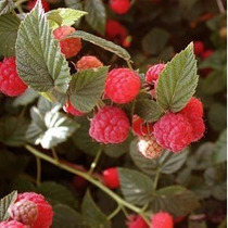 Semillas Y Things Organic Red Raspberry 50 Semillas