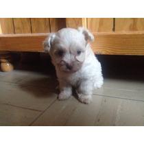 Hermoso Cachorro French Poodle