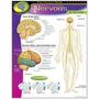 Poster Sistema Nervioso Humano Inglés 43x55cm Lámina Trend