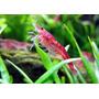 Gambas Camarones Red Cherry 5x$150