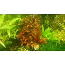 Planta Acuatica Alternantera Reineki Mini