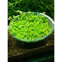 Micranthemum Sp. Montecarlo, Tapizante