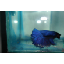 Bettas Rose Tail
