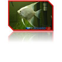 Pez Angel Escalar De Agua Dulce De 3cm 5a6 De 7a9 Y De 10a15