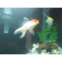 Goldfish Cabeza De Leon