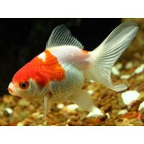 Pez Japonese O Goldfish