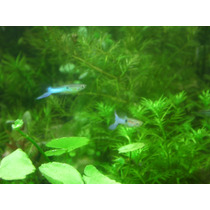 Guppy Endler Blue Japan 4 Machos O Una Pareja