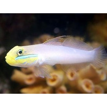 Pez Marino Gobio Golden Head (valenciennea Strigata)