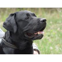 Semental Labrador