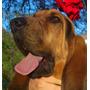 Bloodhound Semental (cpr) Para Monta, Cruza, Maquila