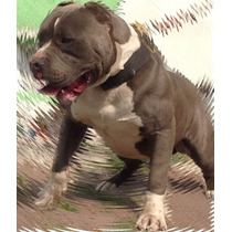 American Bully Semental Razor Edge