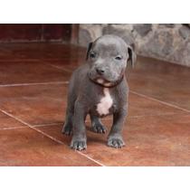 Oferta Cachorros Pitbull Blue No Bully