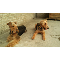 Cachorros Airedale Terrier