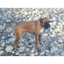Semental Boxer Con Pedigree Internacioal
