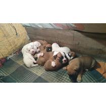 Cachorros Boxer Originales