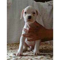 Cachorros Bóxer Albinos!!!
