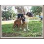 Boxer Cachorro 100% Europeo Pedigre Podria Aceptar Iphone 5