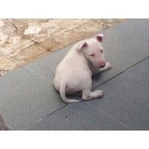 Cachorros Bull Terrier Ingles