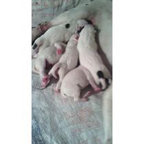 Cachorros Bull Terrier Ingles Apartalo Recien Nacidos